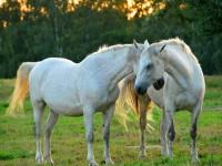 Konie4