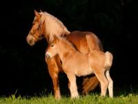 Konie2